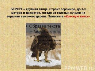 БЕРКУТ – крупная птица. Строит огромное, до 3-х метров в диаметре, гнездо из тол