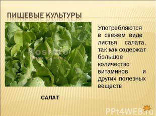 Пищевые культуры Употребляются в свежем виде листья салата, так как содержат бол