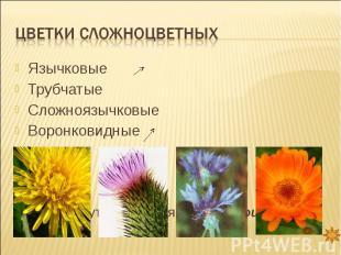 Цветки сложноцветных ЯзычковыеТрубчатыеСложноязычковыеВоронковидные Все они могу