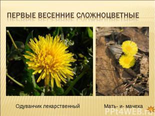 Первые весенние сложноцветные Одуванчик лекарственныйМать- и- мачеха