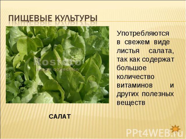 Пищевые культуры Употребляются в свежем виде листья салата, так как содержат большое количество витаминов и других полезных веществСАЛАТ