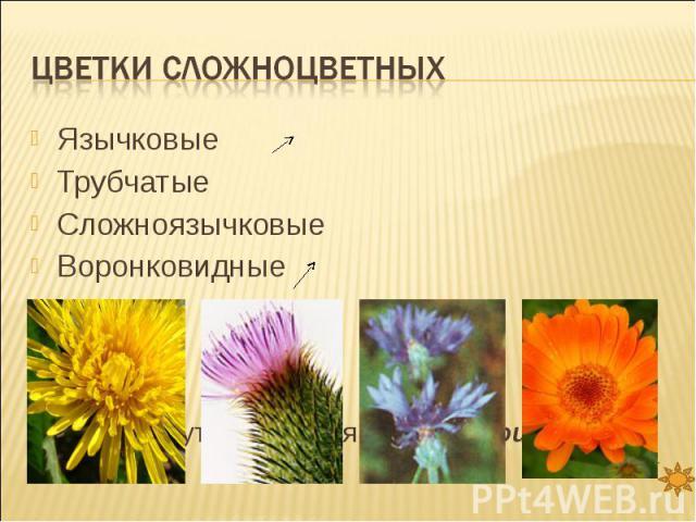Цветки сложноцветных ЯзычковыеТрубчатыеСложноязычковыеВоронковидные Все они могут находиться в одном соцветии корзинка