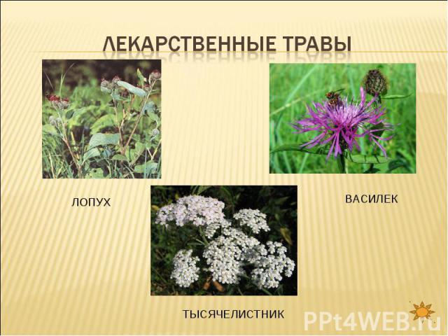 Лекарственные травы ЛОПУХВАСИЛЕКТЫСЯЧЕЛИСТНИК