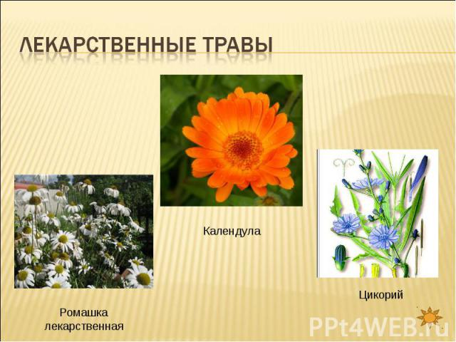 Лекарственные травы Ромашка лекарственнаяКалендулаЦикорий
