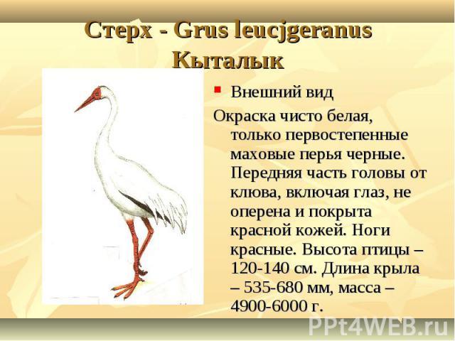 Cтерх - Grus leucjgeranusКыталык Внешний видОкраска чисто белая, только первостепенные маховые перья черные. Передняя часть головы от клюва, включая глаз, не оперена и покрыта красной кожей. Ноги красные. Высота птицы – 120-140 см. Длина крыла – 535…