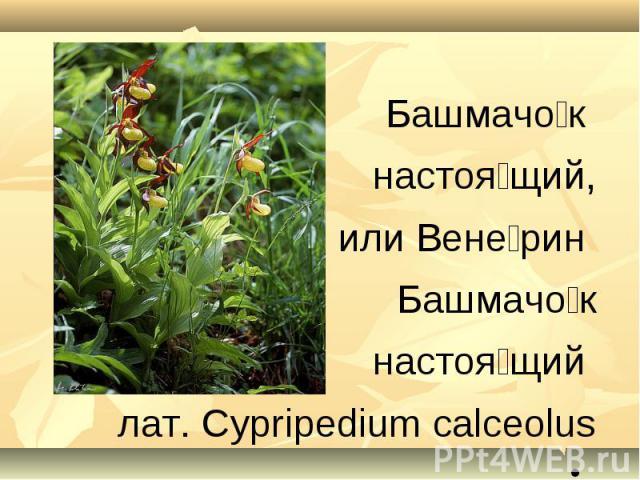 Башмачок настоящий,или Венерин Башмачок настоящий лат. Cypripedium calceolus