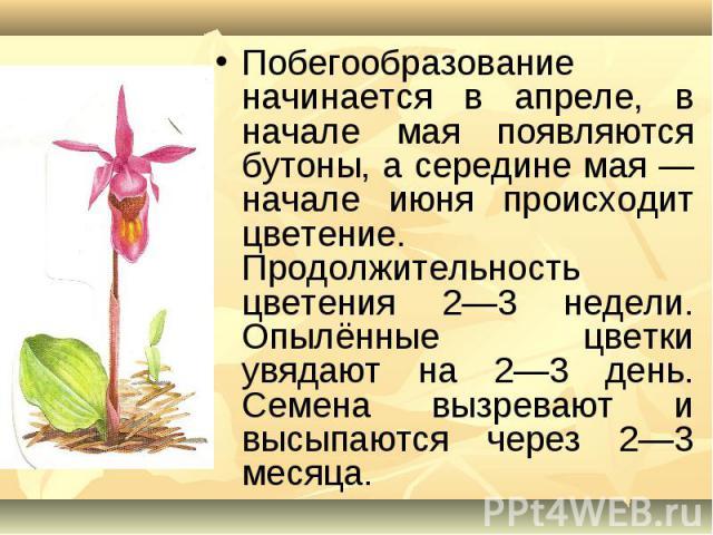 Побегообразование начинается в апреле, в начале мая появляются бутоны, а середине мая — начале июня происходит цветение. Продолжительность цветения 2—3 недели. Опылённые цветки увядают на 2—3 день. Семена вызревают и высыпаются через 2—3 месяца.
