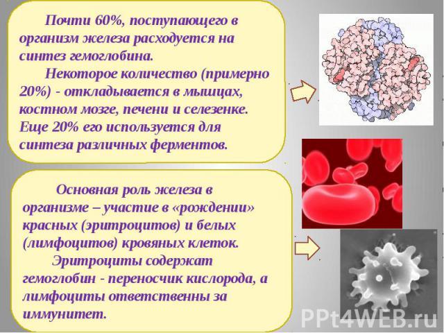 Почти 60%, поступающего в организм железа расходуется на синтез гемоглобина. Некоторое количество (примерно 20%) - откладывается в мышцах, костном мозге, печени и селезенке. Еще 20% его используется для синтеза различных ферментов. Основная роль жел…