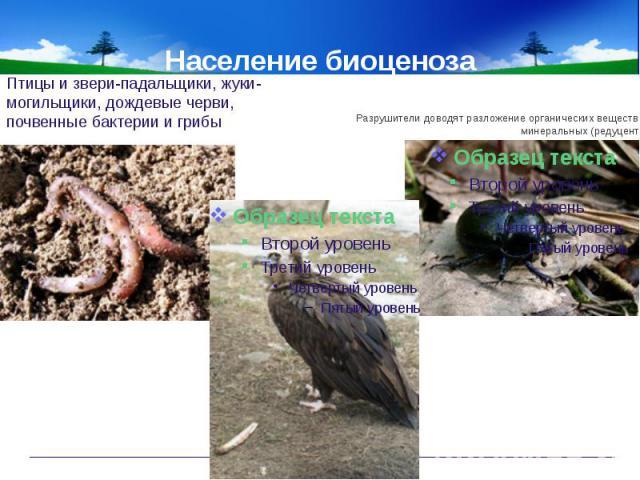 Население биоценоза Птицы и звери-падальщики, жуки-могильщики, дождевые черви, почвенные бактерии и грибыРазрушители доводят разложение органических веществ до минеральных (редуценты).