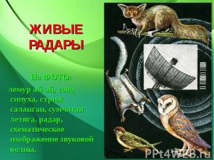 ЖИВЫЕ РАДАРЫ На ФОТО: лемур ай-ай, сова сипуха, стриж саланган, сумчатая летяга,
