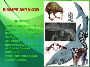 В МИРЕ ЗАПАХОВ На ФОТО: киви, лемур катта, муравьи рыжие (род формика). На фоне