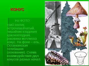 КОНУС На ФОТО: гриб зонтик острочешуйчатый, лишайник кладония красноплодная, рак