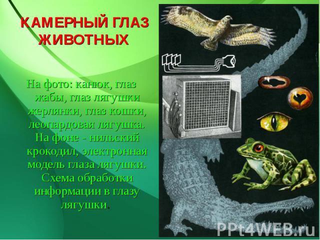КАМЕРНЫЙ ГЛАЗ ЖИВОТНЫХ На фото: канюк, глаз жабы, глаз лягушки жерлянки, глаз кошки, леопардовая лягушка. На фоне - нильский крокодил, электронная модель глаза лягушки. Схема обработки информации в глазу лягушки.