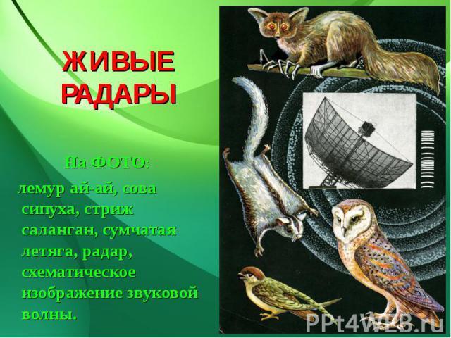 ЖИВЫЕ РАДАРЫ На ФОТО: лемур ай-ай, сова сипуха, стриж саланган, сумчатая летяга, радар, схематическое изображение звуковой волны.