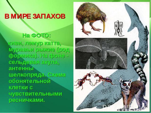 В МИРЕ ЗАПАХОВ На ФОТО: киви, лемур катта, муравьи рыжие (род формика). На фоне - сельдевая акула, антенны шелкопряда. Схема обонятельной клетки с чувствительными ресничками.