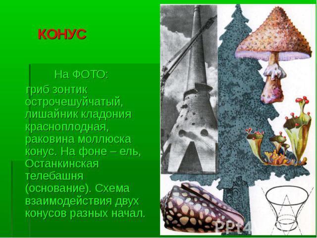 КОНУС На ФОТО: гриб зонтик острочешуйчатый, лишайник кладония красноплодная, раковина моллюска конус. На фоне – ель, Останкинская телебашня (основание). Схема взаимодействия двух конусов разных начал.