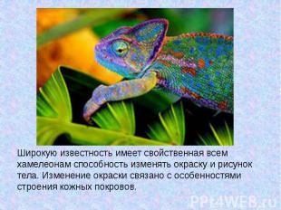 Широкую известность имеет свойственная всем хамелеонам способность изменять окра