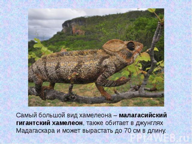 Самый большой вид хамелеона –малагасийский гигантский хамелеон, также обитает в джунглях Мадагаскара и может вырастать до 70 см в длину.