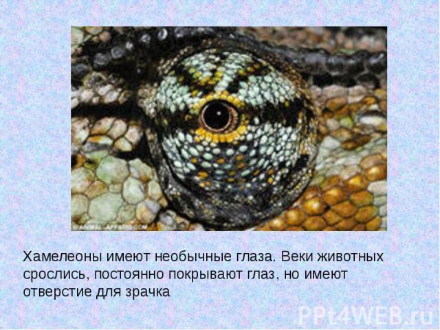 Хамелеоны имеют необычные глаза. Веки животных срослись, постоянно покрывают глаз, но имеют отверстие для зрачка