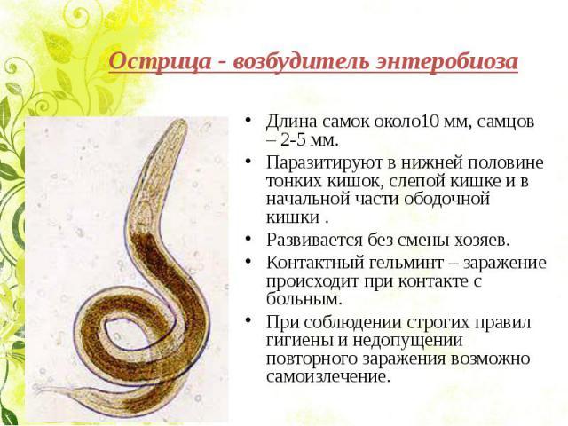 Острица - возбудитель энтеробиоза Длина самок около10 мм, самцов – 2-5 мм.Паразитируют в нижней половине тонких кишок, слепой кишке и в начальной части ободочной кишки .Развивается без смены хозяев.Контактный гельминт – заражение происходит при конт…