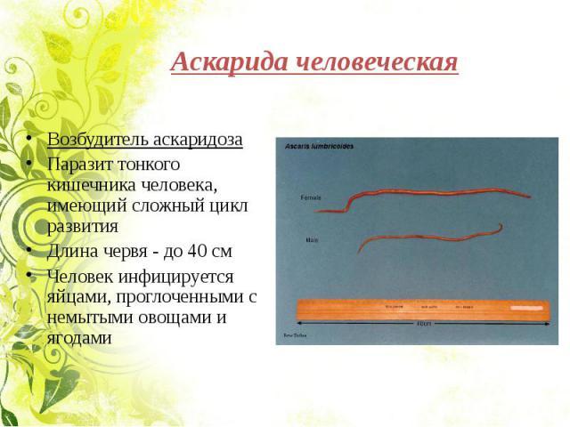 Аскарида человеческая Возбудитель аскаридозаПаразит тонкого кишечника человека, имеющий сложный цикл развитияДлина червя - до 40 смЧеловек инфицируется яйцами, проглоченными с немытыми овощами и ягодами