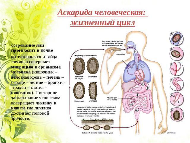 Аскарида человеческая: жизненный цикл созревание яиц происходит в почвевылупившаяся из яйца личинка совершает миграцию в организме человека (кишечник – венозная кровь – печень – сердце – легкие – бронхи - трахеи – глотка – кишечник). Повторное загла…