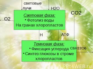 Световая фаза:Фотолиз водыНа гранах хлоропластов Темновая фаза:Фиксация углерода