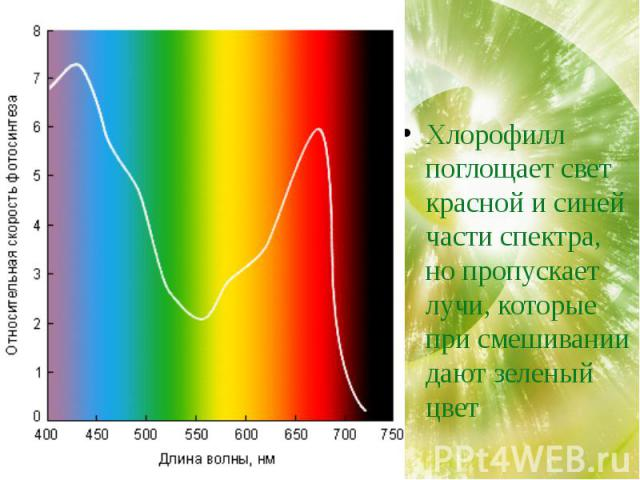 Хлорофилл поглощает свет красной и синей части спектра, но пропускает лучи, которые при смешивании дают зеленый цвет