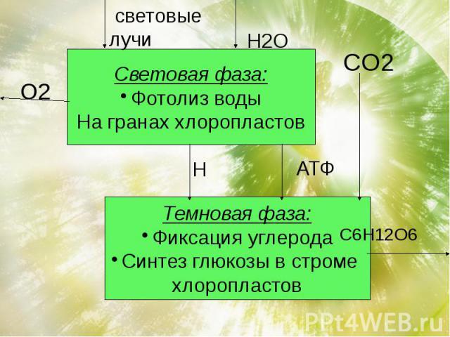 Световая фаза:Фотолиз водыНа гранах хлоропластов Темновая фаза:Фиксация углеродаСинтез глюкозы в строме хлоропластов