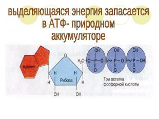 выделяющаяся энергия запасаетсяв АТФ- природномаккумуляторе