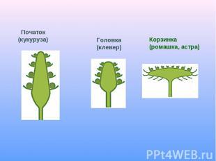 Початок(кукуруза)Головка(клевер)Корзинка(ромашка, астра)