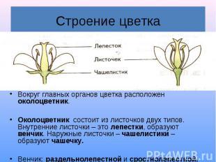 Строение цветка Вокруг главных органов цветка расположен околоцветник. Околоцвет