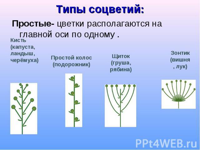 Типы соцветий: Простые- цветки располагаются на главной оси по одному .