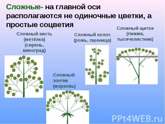 Сложные- на главной оси располагаются не одиночные цветки, а простые соцветия Сложный кисть (метёлка)(сирень, виноград)Сложный колос(рожь, пшеница)Сложный щиток(пижма, тысячелистник)Сложный зонтик(морковь)