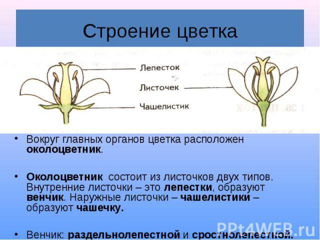 Строение цветка Вокруг главных органов цветка расположен околоцветник. Околоцветник состоит из листочков двух типов. Внутренние листочки – это лепестки, образуют венчик. Наружные листочки – чашелистики – образуют чашечку. Венчик: раздельнолепестной …
