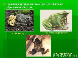 Б) Вынашивание икры на теле или в специальных образованиях внутри. жаба-повитуха