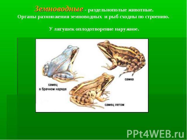 Земноводные - раздельнополые животные.Органы размножения земноводных и рыб сходны по строению. У лягушек оплодотворение наружное.