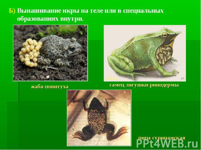 Б) Вынашивание икры на теле или в специальных образованиях внутри. жаба-повитухасамец лягушки ринодермыпипа суринамская