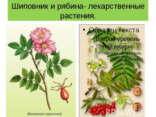 Шиповник и рябина- лекарственные растения.