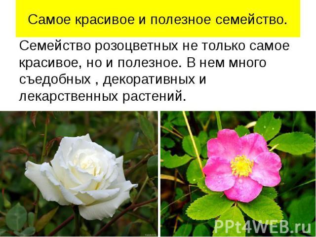 Самое красивое и полезное семейство. Семейство розоцветных не только самое красивое, но и полезное. В нем много съедобных , декоративных и лекарственных растений.
