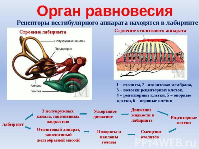 Орган равновесияРецепторы вестибулярного аппарата находятся в лабиринте 1 – отолиты, 2 –отолитовая мембрана, 3 – волоски рецепторных клеток, 4 – рецепторные клетки, 5 – опорные клетки, 6 – нервные клетки