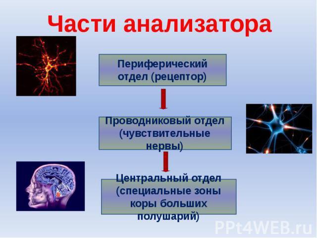 Части анализатораПериферический отдел (рецептор)Проводниковый отдел (чувствительные нервы)Центральный отдел (специальные зоны коры больших полушарий)