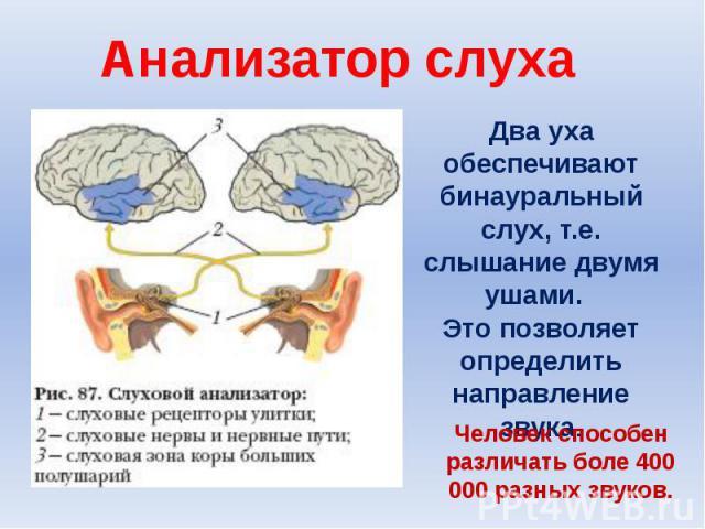 Анализатор слухаДва уха обеспечивают бинауральный слух, т.е. слышание двумя ушами. Это позволяет определить направление звука.Человек способен различать боле 400 000 разных звуков.