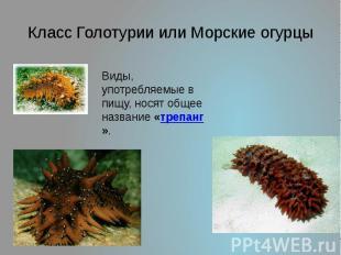 Класс Голотурии или Морские огурцы Виды, употребляемые в пищу, носят общее назва