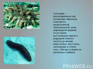 Голотурии— малоподвижные или ползающие животные, отличаются продолговатой, черв