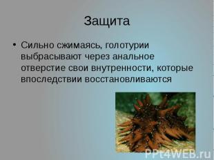 Защита Сильно сжимаясь, голотурии выбрасывают через анальное отверстие свои внут