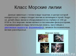 Класс Морские лилии Донные животные с телом в виде чашечки, в центре которой нах