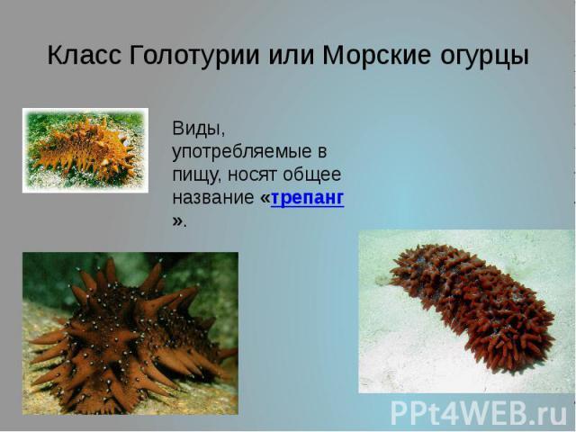 Класс Голотурии или Морские огурцы Виды, употребляемые в пищу, носят общее название «трепанг».