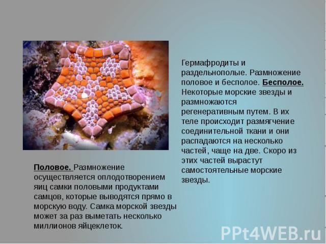Гермафродиты и раздельнополые. Размножение половое и бесполое. Бесполое. Некоторые морские звезды и размножаются регенеративным путем. В их теле происходит размягчение соединительной ткани и они распадаются на несколько частей, чаще на две. Скоро из…