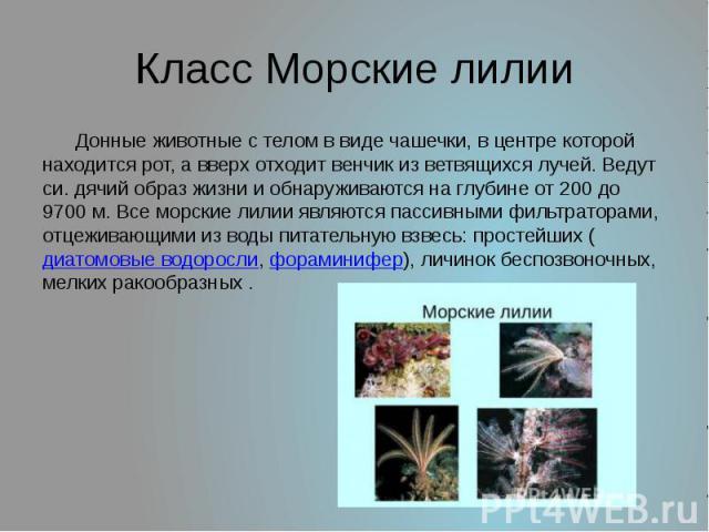 Класс Морские лилии Донные животные с телом в виде чашечки, в центре которой находится рот, а вверх отходит венчик из ветвящихся лучей. Ведут си. дячий образ жизни и обнаруживаются на глубине от 200 до 9700м. Все морские лилии являются пассивными ф…